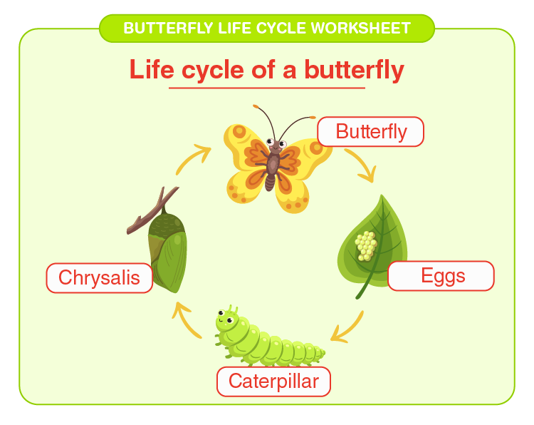 Check Life cycle of a butterfly: Butterfly life cycle worksheet for kids