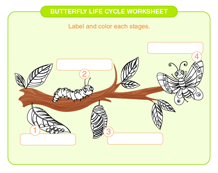 Label the stages of butterfly life cycle: Life cycle of a butterfly worksheets